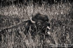 bison-tongue-mrgnkslvrfldynmclvlsmrgfltspa-_dsc0458cpyrt
