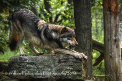 downward-facing-wolf-crtvntrlpls-_dsc1446and2more_tonemappedcpyrt